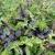11 Arten - Schöne Mischung Basilikum - 200 Samen -