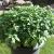 250 Samen griechischer Basilikum – buschiger Wuchs, gutes Aroma -
