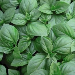 Basilikum Italienischer Großer Blatt - 1000 Samen -