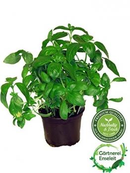Basilikum Pflanze, Frische Küchenkräuter (Basilikum Ocimum basilicum) -