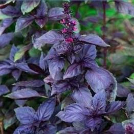 """Ocimum basilicum - Basilikum """"Dark Opal"""" - 50 Samen -"""